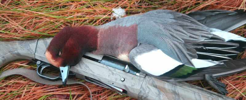 Taxidermie d'un canard siffleur