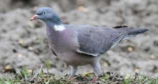 Technique de chasse au pigeon avec appelant vivant