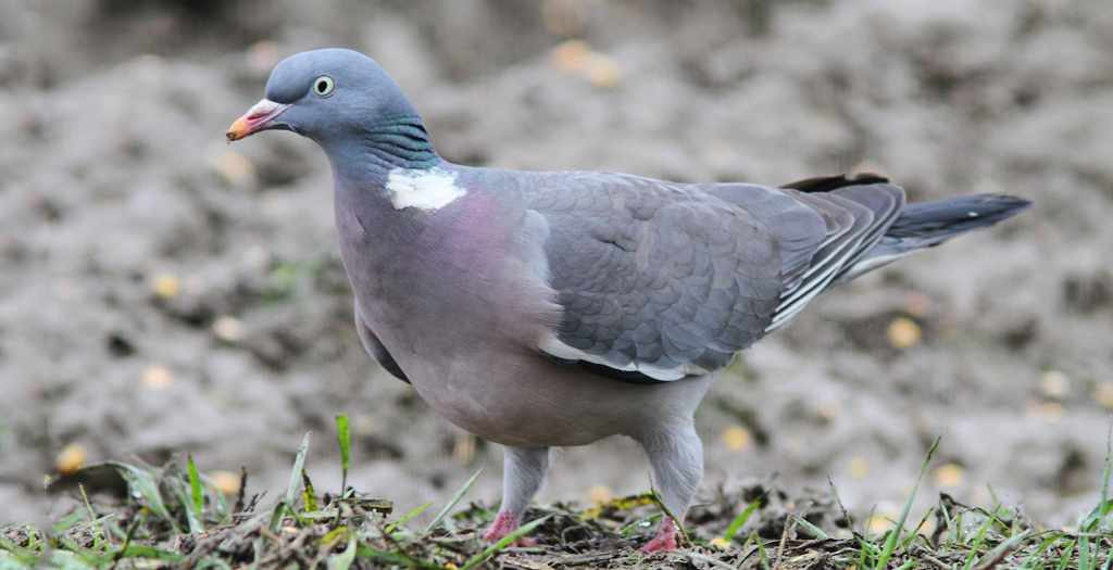 5 attelages pour chasser le pigeon avec appelants le blog toutpourlahutte. Black Bedroom Furniture Sets. Home Design Ideas