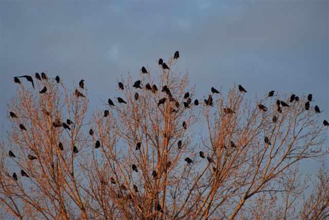 Pourquoi chasser les corvidés ?