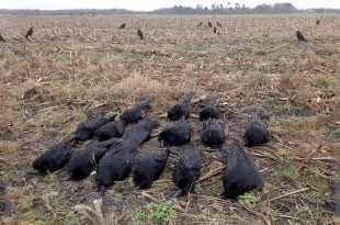 Bien s'équiper pour chasser les corvides