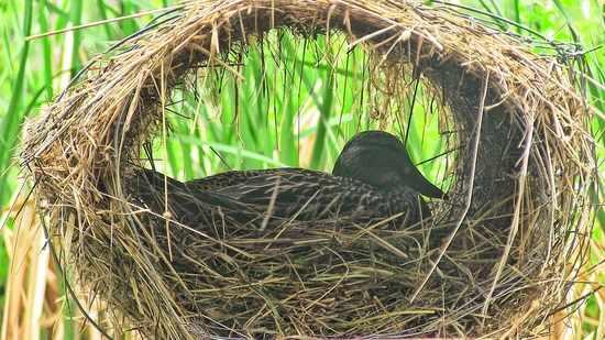 Canne colvert sur le nid