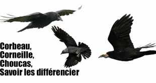 Apprendre à differencier les corvides