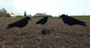 Zoom sur le manège à corbeaux