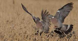 Les mécanismes pour chasser le pigeon avec appelant