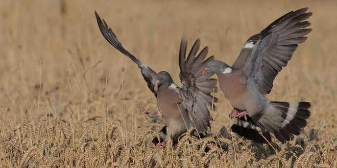 Les mécanismes pour chasser le pigeon avec appelants