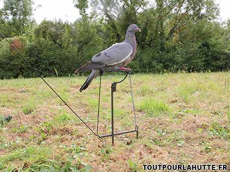 Glaneur chasse pigeon
