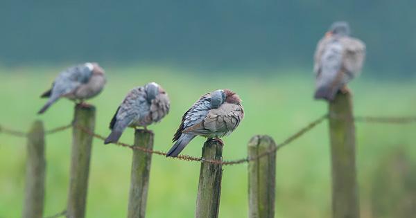 Chasse de la palombe
