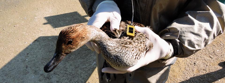 Canard équipé d'une balise GPS