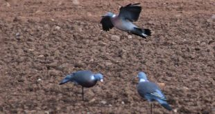 Formes de pigeon HD UV Enforcer Decoys