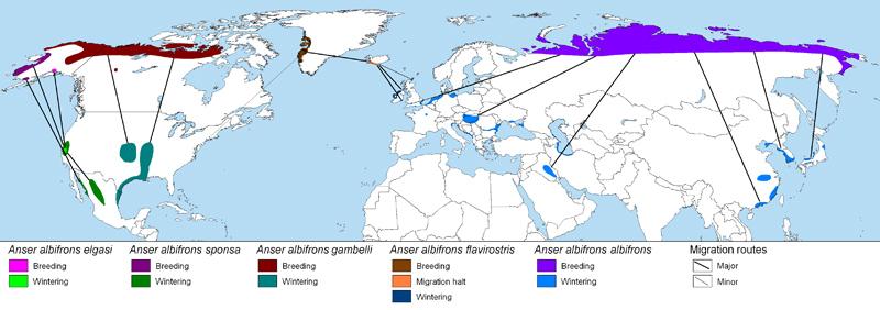 répartition de l'oie rieuse dans le monde