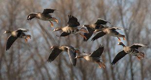 Video chasse aux migrateurs