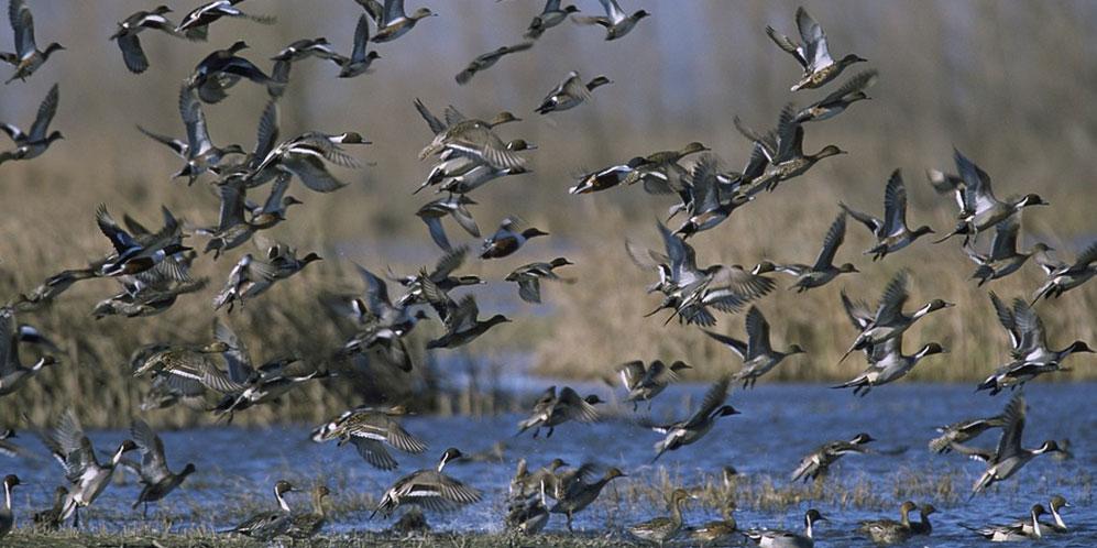 Rapport sur les populations d'oiseaux chassables en europe